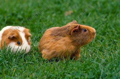cavia,guinea pig