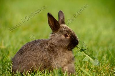 rabbit,konijn,lapin,oryctolagus