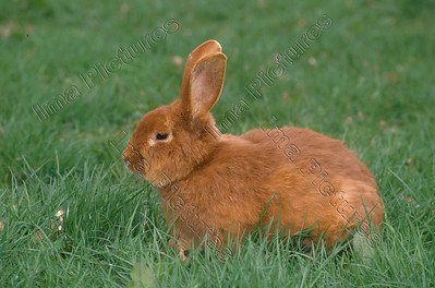 rabbit,konijn,lapin,oryctolagus cuniculus