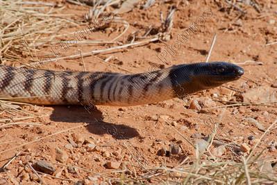 asidites melanocephalus,black-headed python,zwartkoppython,pythonà tête noir