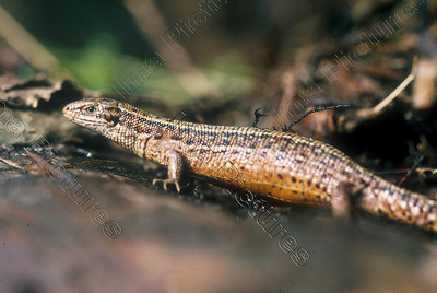 zootoca vivipara,viviparous lizard,levenbarende hagedis,lézard vivipare
