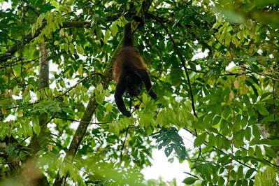 alouatta,howler monkey,brulaap,alouate