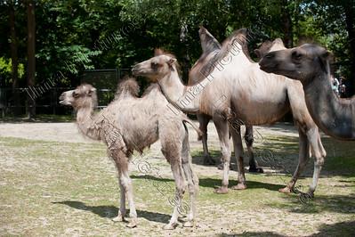 Camelus bactrianus,camel,kameel,Chameau