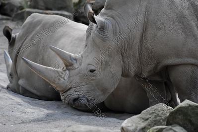 Ceratotherium simum,White rhinoceros,Witte neushoorn,Rhinocéros blanc