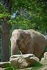 Elephas maximus indicus,Indian elephant,Indische olifant,Éléphant asiatique
