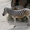 Equus burchelli antiquorum,Plains zebra,Burchell zebra, Zèbre de Burchell