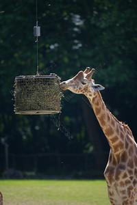 Giraffa camelopardalis antiquorum,Kordofan giraffe,Kordofan giraf