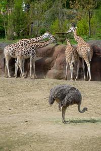 Giraffa camelopardalis rothschildii,Rothschild's giraffe,Rothschild giraffe,Girafe de Rothschild