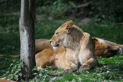 Pantera leo,lion,leeuw