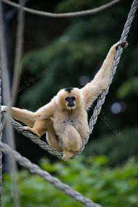 Nomascus leucogenys,Northern white-cheeked gibbon,witwang gibbon,Gibbon à joues pâles