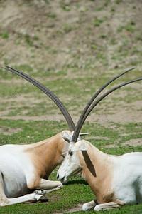 oryx leucoryx,Arabian oryx,arabische oryx,Oryx d'Arabie