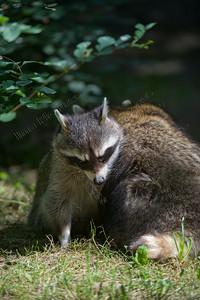 Procyon lotor,wasbeer