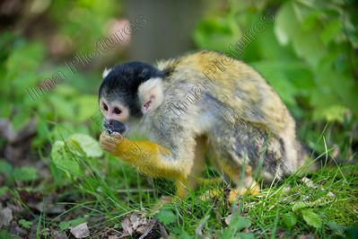 Saimiri boliviensis,Black-capped squirrel monkey,boliviaans doodshoofdaapje,Singe-écureuil de Bolivie