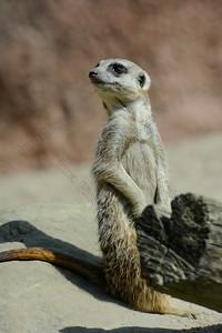 Suricata suricatta,Meerkat,stokstaartje,mangoest,Suricate