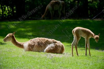 Vicugna pacos,Alpaca,Alpaga