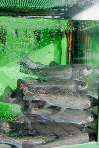 Salmo trutta,trout,forel,truite