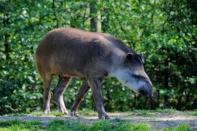 Tapirus,Tapir
