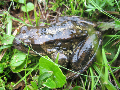 Frog of some sort (Koralpe, on the border between Carinthia and Styria)