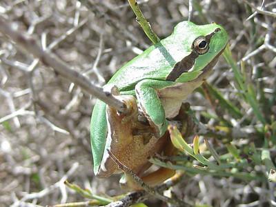 Hyla arborea, Common Tree Frog (hills bordering the Lasithi Plateau)