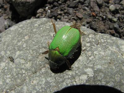 Beetle, Area Natural Protegida Epu Lauquen