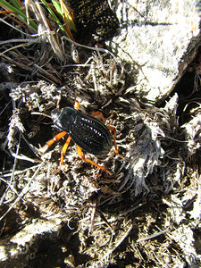 Beetle, Cerro Colo-huincul