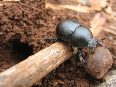 Scarabaeidae spec., mestkever in Dutch (lower slopes of Mount Elikonas, Atttica)