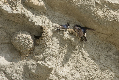 Delichon urbica, House Martin, huiszwaluw in Dutch