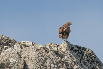 Buteo buteo, buizerd in Dutch (near the Livadia Plain)