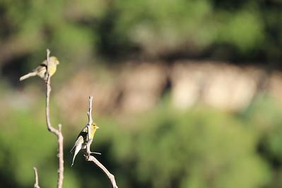canary (Jardín Botánico del Descubrimiento de Vallehermoso)