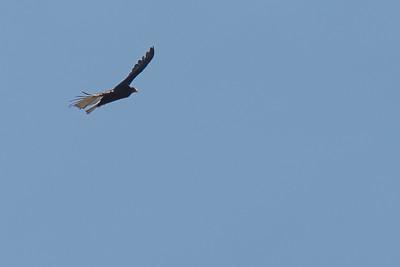 Cathartes aura, Turkey Vulture, Wasatch Range