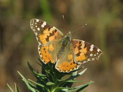Echium aculeatum with Vanessa cardui, distelvlinder in Dutch (near Masca)