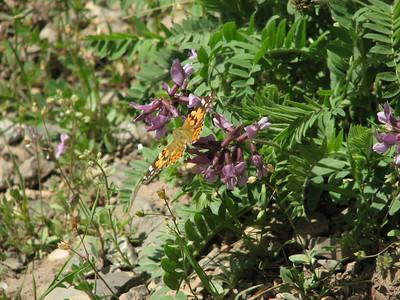 Astragalus or Onobrychis spec.? (near Veresk, Mazandaran Province, Elburz Mountains)