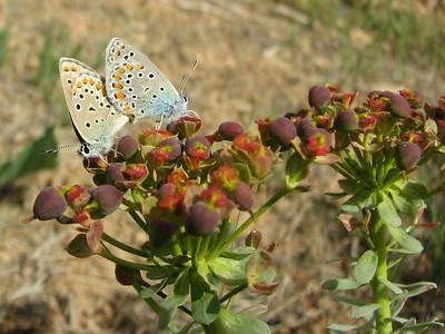 Euphorbia spec. (near Chelgerd)