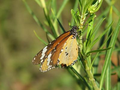 Danaus chrysippus, Plain Tiger, on Gomphocarpus fruticosus (Chefchaouen - Talembote - Et-Tlera-de-Qued-Lau - Bou-Ahmed - Bab-berret - Bab-Taza - Chefchaouen)
