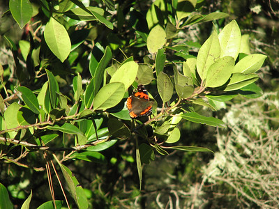 Vanessa vulcania, Canarische atalanta in Dutch on Laurus azorica or possibly Ilex canariensis (between La Orotava and entrance of Parque Nacional del Teide)