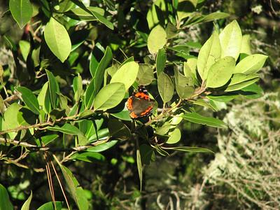 Vanessa vulcania, Canarische atalanta in Dutch on Laurus azorica or possibly Ilex canariensis (between La Orotava and entrance of Parque Nacional del Teide)