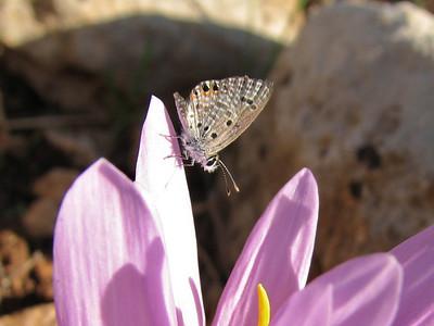 Leptotus pirithous on Colchicum polyphyllum, klein tijgerblauwtje in Dutch, photograph by Marijn van den Brink (North of Kilis, Gaziantep - Kahramanmara_, S Turkey)
