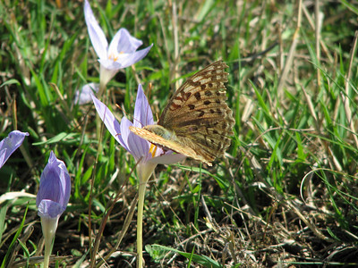 Argynnis paphia ssp. immaculata, note the greenish colour that is typical for this subspecies - Keizersmantel in Dutch - on Crocus cancellatus ssp. cancellatus (N of Kozan, near Feke, S Turkey)