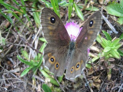 Lasiommata petropolitana, male - a butterfly in the zandoogjes [Dutch] family, common in the southern Alps up to 2.000 m, this species has a large distribution (Alpengarten Villacher Alpe)