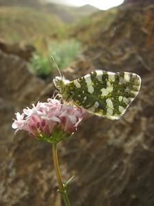 Valeriana sisymbriifolia? (15 km E of Daran)