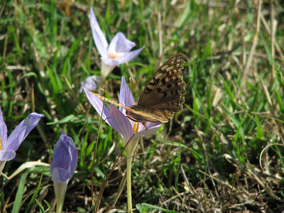 Argynnis paphia ssp. immaculata, note the somewhat greenish colour that is typical for this subspecies - Keizersmantel in Dutch - on Crocus cancellatus ssp. cancellatus (N of Kozan, near Feke, S Turkey)