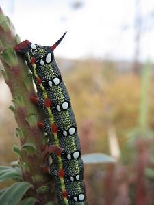 Euphorbia characias and caterpillar of Hyles cretica (somewhere SW of Hersonissos)