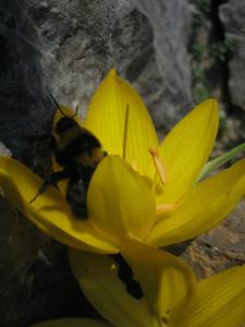 Sternbergia sicula or Sternbergia lutea and bumble bee (Mani Peninsula)