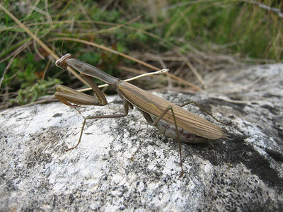 Mantis religiosa, Praying Mantis in English, Europese bidsprinkhaan in Dutch (near Litochoro at the foot of Mount Olympus)
