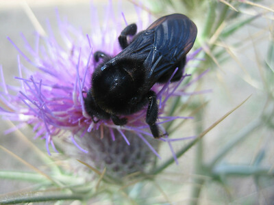 Xylocopa violacea??? - blauwzwarte houtbij in Dutch (north of Arachova, near junction, Mount Parnassos)