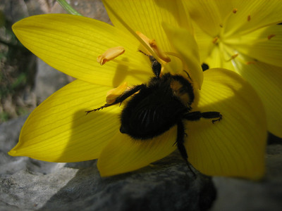 Sternbergia sicula or Sternbergia lutea and bumble bee (Mani Peninsula)