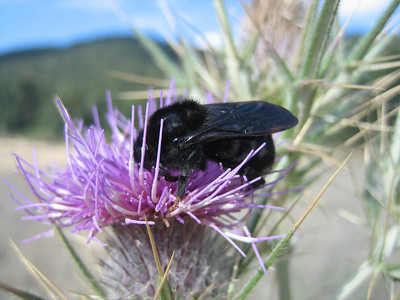 Xylocopa violacea??? - blauwzwarte houtbij in Dutch (north of Arachova, near junction, Mount Parnassos)