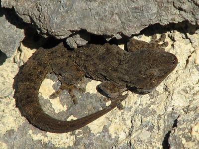 Tarentola delalandii, the Tenerife Gecko, restricted to Tenerife (Masca)