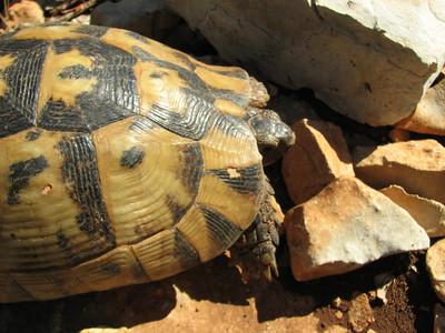 Testudo graeca, Moorse landschildpad in Dutch (Finike, 80m., Southwestern Turkey)