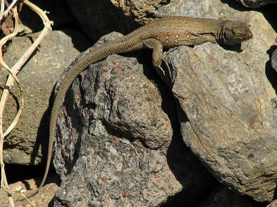 Gallotia galloti ssp. galloti, Tenerife lizard (Masca)